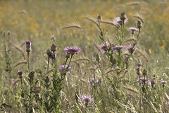Great Plains Bouquet 7-9-19 (Larry Smith2010) Tags: wichitamountainswildliferefuge wichitamountains larrysmith oklahoma thistle plainsgrasses