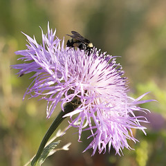 Bee and Bloom 7-9-19 (Larry Smith2010) Tags: wichitamountainswildliferefuge wichitamountains larrysmith oklahoma bee thistle americanbasketflower americanstarthistle