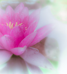 Water lilly (Tomo M) Tags: flower water nature スイレン 睡蓮 pink bokeh soft pastel dreamy raindrops waterdroplets