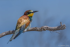 Merops apiaster (European bee-eater, Gruccione comune). (Ciminus) Tags: europeanbeeeater naturesubjects aves ornitology nature ciminus afsnikkor500mmf4gedvrii ciminodelbufalo wildlife nikond500 oiseaux gruccionecomune meropsapiaster uccelli ornitologia birds