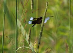 Widow Skimmer (Diane Marshman) Tags: widowskimmer widow skimmer dragonfly blue black wing spots clear tips abdomen grass seed head field nature green summer pa pennsylvania