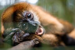 Spider monkey (proyectoasis) Tags: monkey mammal monkeys monos mono animals animal animales costarica nature naturaleza wildlife wild wildanimal wildanimals