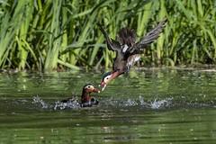 mandarin duck (madziulka_a) Tags: mandarinduck wildlife poland nikon d850 bird duck nature