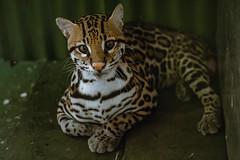 Wild cat (proyectoasis) Tags: cat cats animals wild wildanimal wildanimals animal costarica