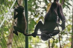 Howler monkeys (proyectoasis) Tags: mammal mammals monkey monkeys mono monos animals animal animales costarica wildlife wild wildanimal wildanimals