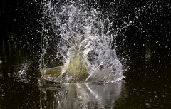 Making A Splash (Diane Marshman) Tags: water pond splash drops summer pa pennsylvania nature reflection