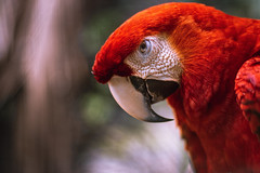 scarlet macaw (proyectoasis) Tags: