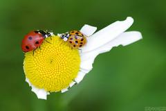 The Discussion (Vie Lipowski) Tags: ladybug ladybird ladybeetle daisy bug insect beetle summer weed flower plant backyard garden wildflower wildlife nature macro