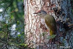 Picchio cenerino - Picus canus (silvano fabris) Tags: canonphotography wildlifephotography nature natura animals animali birds uccelli picuscanus picchiocenerino