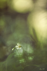 ... (montier_isabelle) Tags: wood flower quiet sigma105