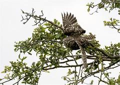 Little Owl (Athene noctua) (Jud's Photography) Tags: littleowl athenenoctua littleowlathenenoctua owl