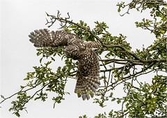 Little Owl (Athene noctua) (Jud's Photography) Tags: littleowlathenenoctua littleowl athenenoctua owl