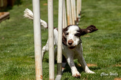 I`ve almost finished (wells117) Tags: canine daytime dog easy fit garden lively outdoors outside poles training