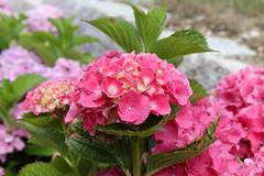 Hortensie (l4732lm) Tags: blumen blume hortensie flower