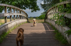 Hi !  would you like to play ? (paullangton) Tags: dog puppy fun bridge hertford hertfordshire summer play park countryside nature woods trees water canon walk sky shadow cavapoochon spaniel