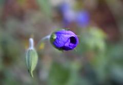 Emergence of Metempsychosis (Robin Shepperson) Tags: purple plant flower adlershof berlin germany nature wildlife bokeh macro closeup d3400 nikon kitlens buds birth emergence metempsychosis green young rebirth