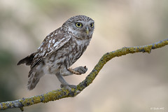 Mochuelo europeo (Sento74) Tags: mochueloeuropeo athenenoctua aves birds rapaces rapaz búho owl owls nikond500 tamron150600g2