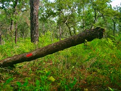 Fallen Oak (surfcaster9) Tags: oaktree woods trail lumixg7 lumix20mmf17llasph florida forest brush pines nature outdoors