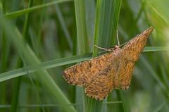 Toomingavaksik; Angerona prunaria; Orange Moth (urmas ojango) Tags: lepidoptera liblikalised insecta insects putukad moth vaksiklased angeronaprunaria orangemoth toomingavaksik geometridae nationalmothweek