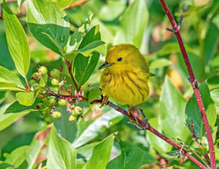 Yellow Warbler Feeding (edmason88) Tags: yellowwarbler feeding birdinthebush tamron150600 strathconacounty alberta canada
