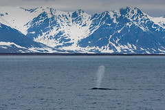 Blue Whale Blowing Water in the artic - Svalbard Islands (Palnick) Tags: adventure animal arctic blowing blue whale bright climate cloud sky cloudscape cold temperature day fjord fog frost glacier global horizontal humpback ice island longyearbyen mammal mountain range nature north norway outdoors panoramic polar pole reflection scenics sea snow spitsbergen spraying svalbard islands tourism travel water winter extreme iceberg landscape marine panorama white