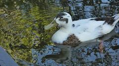 Hybrid mallard (Deanne Wildsmith) Tags: fradleynaturecentre staffordshire waterfowl duck hybridmallard mallard mankymallard bird