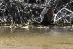 Sous le soleil - Under the sun (bboozoo) Tags: oiseau bird cormoran cormorant nature animal wildlife lake lac arbre tree water eau canon6dmarkii tamron150600