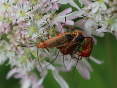 3's a crowd (Wildlife Terry) Tags: towpath plants trentmerseycanal sandbach cheshire soldierbeetles cheshirecountryside cheshireringcanal terryhughes