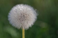 plüschig. :) (Stephi 2006) Tags: löwenzahn dandelion