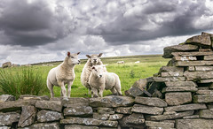 It wasn't us! (Lindsey1611) Tags: sheep lambs cauliflowers wall drystonewall derbyshire chinley highpeak clouds guilty countryside grey fields