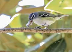 A nice big bug (backyardzoo) Tags: bhvi bird blueheaded bob vireo