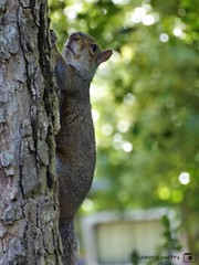Climbing Squirrel (camerapoetry) Tags: nature alexandrapark uk parkland manchester england squirrel trees bushes parklife urbanenvironment