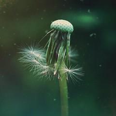 Dandelion (Hulalulatallulahoop74) Tags: dandelion deaddandelion dandelionclock weed flower nikond80 55mm distressedfx mextures