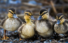 To have a walk (Robert Stärz) Tags: duck walk enten ente ducking nature bird catwalk wildlife duckling feather animal outdoors wild lake noperson natur sweet anawesomeshot theunforgettablepictures national outside goldwildlife avianexcellence specnature
