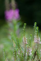 Isabella Plantation (tonybill) Tags: isabellaplantation london places sigma135mmf18artfe sonya7riii sonyfe28mmf2 richmondpark