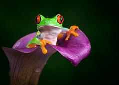 Red-Eyed Tree Frog, CaptiveLight, Ringwood, Hampshire, UK (rmk2112rmk) Tags: redeyedtreefrog captivelight treefrog frog amphibian flower agalychniscallidryas animal herps calla