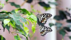 Anbändeln............der Zitruswürfelfalter (petra.foto busy busy busy) Tags: schmetterlinge natur butterfly tiere fotopetra canon 5dmarkiii zitruswürfelfalter