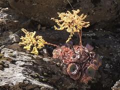 Doppelkreis-Greenovia an der LP-4 oberhalb Baumgrenze, La Palma