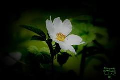 Flower (Jurek.P2 - new account) Tags: flowers kwiaty nature przyroda macro jurekp2 sonya77
