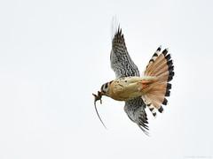 Flight series - Kestrel with prey #7 (vijay_SRV) Tags: birdsofnorthamerica birdsofoklahoma birdsofprey falcon kestrel americankestrel falcosparverius