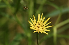 Incoming (Diane Marshman) Tags: wildflower flower yellow petals tall plant summer nature bee insect bug flying motion pa pennsylvania