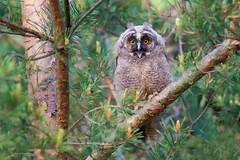 Jeeeeść !!! ... Uszatka, Long-eared Owl (Asio otus) ... 2019r (Rafal Szozda) Tags: owl birds nature animals wildlife colors tree forest spring freedom nikon nikkor lens lubuskie poland