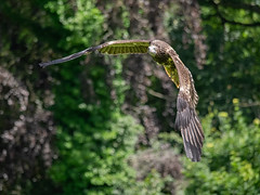 Vulture Approach (ORIONSM) Tags: vulture bird prey raptor inflight flying nature wildlife olympus omdem1 lumix100300mm