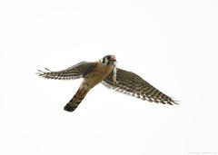 Flight series - Kestrel with prey #8 (vijay_SRV) Tags: birdsofnorthamerica birdsofoklahoma birdsofprey falcon kestrel americankestrel falcosparverius