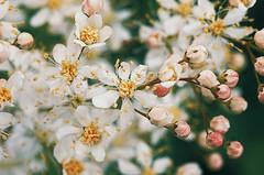 little flowers (AzureFantoccini) Tags: summer flowers nature russia sonynex countryside plants garden macro field