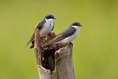 Mangrove Swallow (Tachycineta albilinea) (Pete Rodgers) Tags: bird birds swallow mangroveswallow costarica
