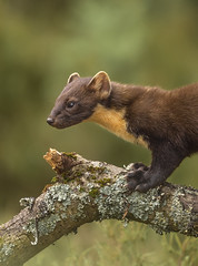 Pine Marten (cazalegg) Tags: pine marten mammal nikon d4s wildlife nature forests woods trees animals scotland