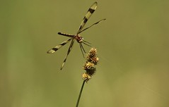 Dancing (Diane Marshman) Tags: halloweenpennant dragonfly gold black clear wings brown head abdomen body movement action flying motion grass seed summer pa pennsylvania nature cobweb spiderweb