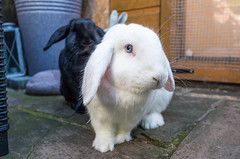 Who are you? (daveseargeant) Tags: rabbit marblenova bun bunny male lop large garden pose portrait leica x typ 113 colour littledoglaughedstories
