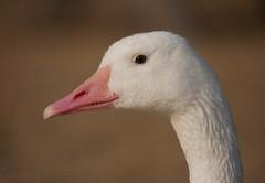 Goose (PhotoLoonie) Tags: goose bird wildlife nature waterbird portrait